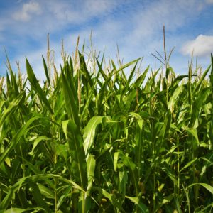 John Bode Discusses the Future of Corn Products