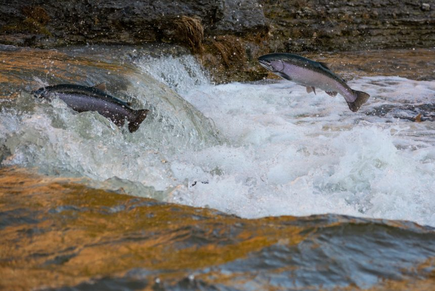 A Congressman from Idaho Leads Efforts to Restore Salmon to the Snake River