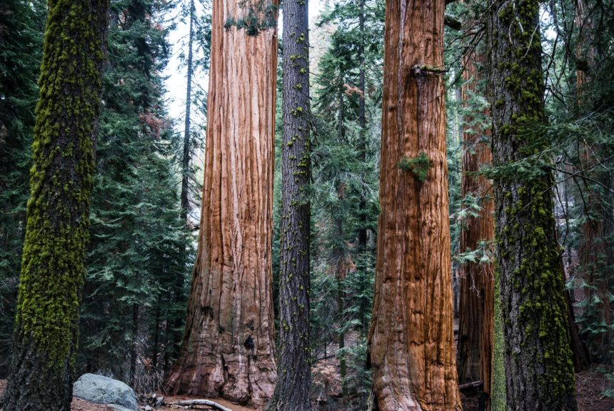 Battle of the giants: Why saving giant sequoia isn't just about climate change
