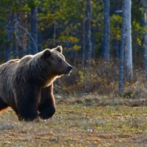 Otis the bear crowned chunk champion in Alaska's Fat Bear Week